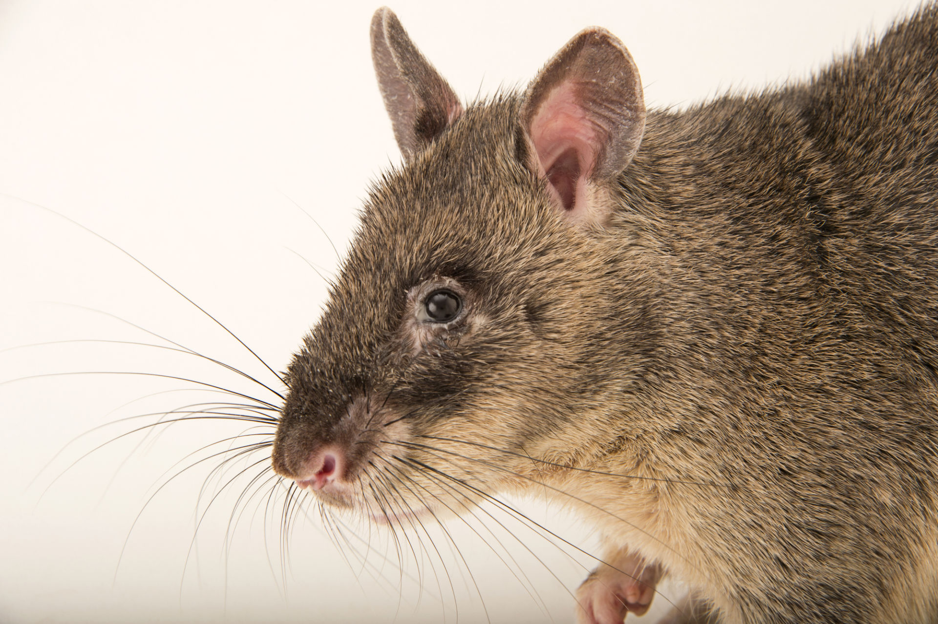Крыса дамбо. описание, особенности, виды, уход и цена крысы дамбо | живность.ру