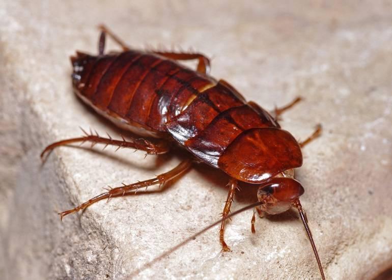 Кусаются ли домашние тараканы: фото укусов на теле человека