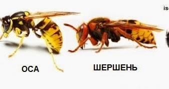Оса и пчела: как отличить и не ошибиться