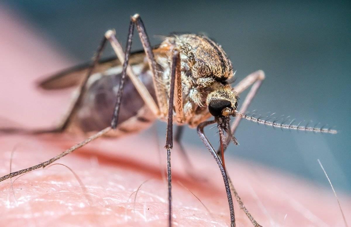 Москиты: фото и описание опасного человеческого врага