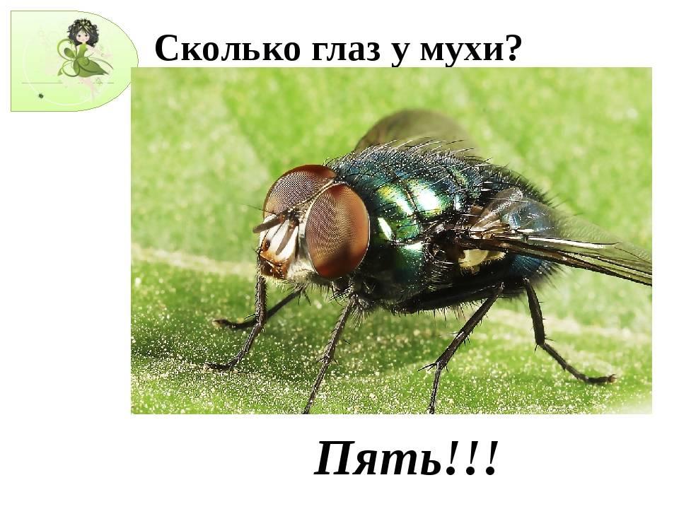 Как видит муха окружающий мир и сколько глаз у обыкновенной мухи? / как избавится от насекомых в квартире