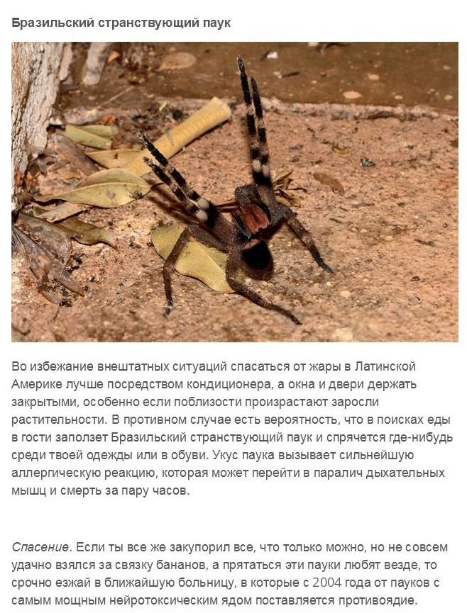 Чем опасен самый ядовитый паук в мире?