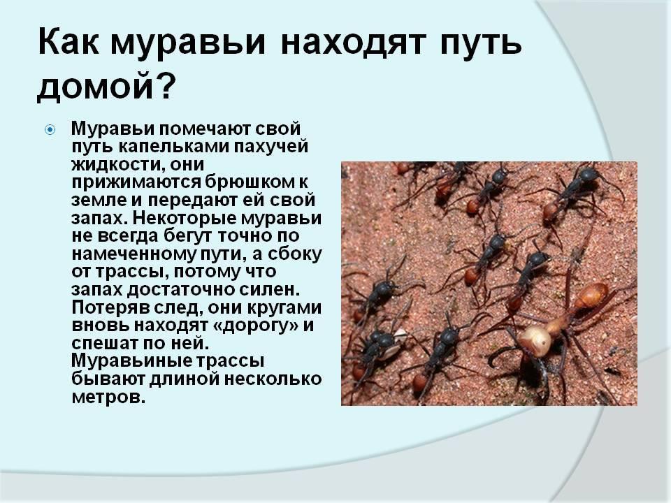 Красные муравьи на огороде польза или вред