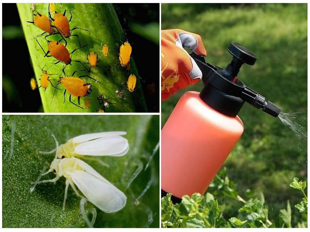 Популярные народные средства от тли в огороде и в саду