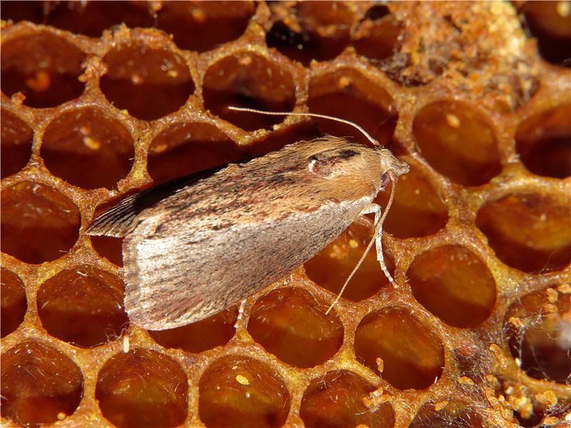 Пчеловодство : вредители пчёл : восковая моль