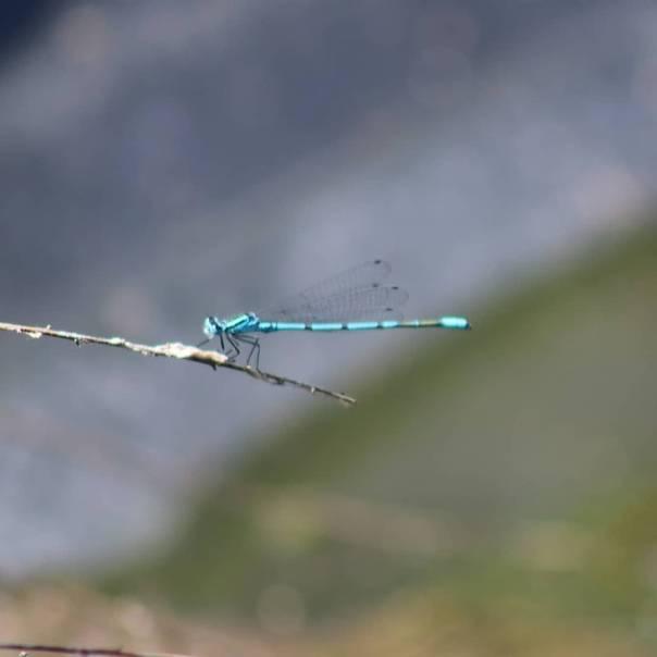 Четырехпятнистая стрекоза—интересные факты о насекомом
