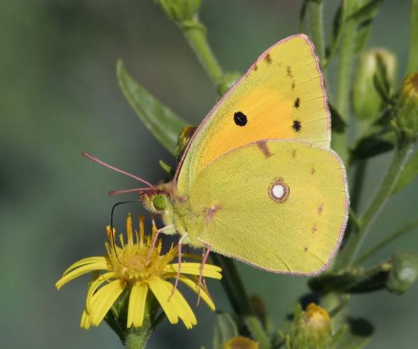 Бабочка желтушка луговая – любительница клевера и люцерны. желтушка луговая желтушка луговая