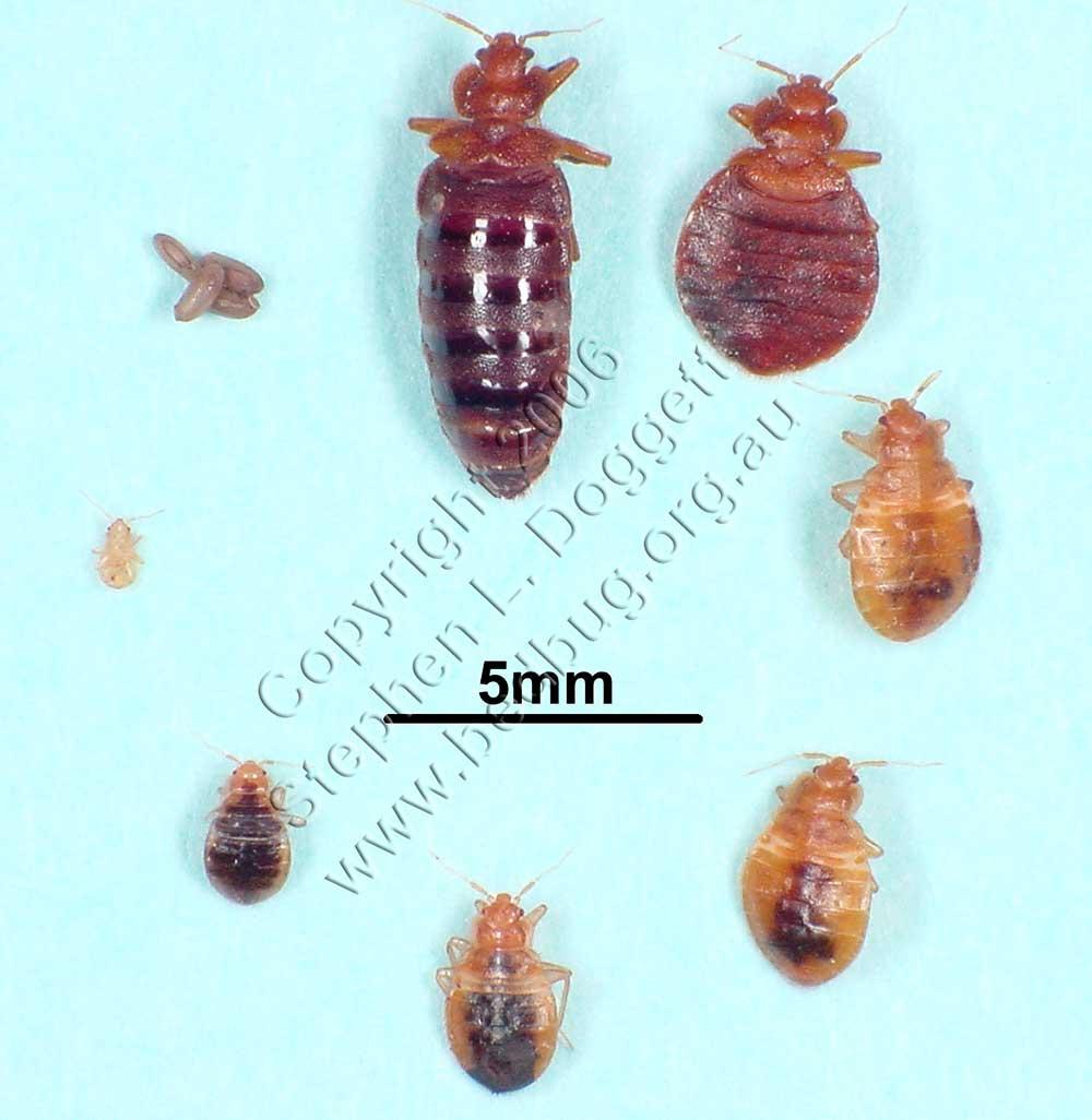Как выглядят личинки клопов, фото личинок постельных или домашних клопов