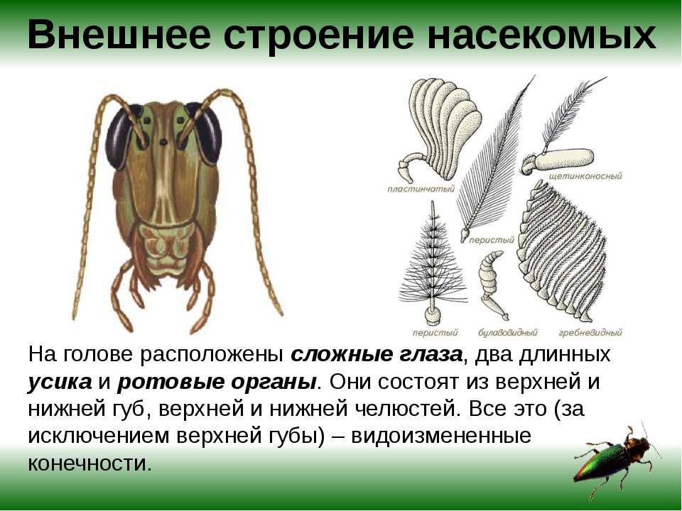 Чёрный таракан насекомое. описание, особенности, виды, образ жизни и среда обитания таракана | живность.ру
