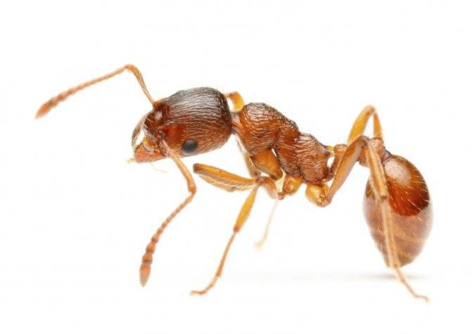 Как избавиться от муравьев на участке: польза и вред, места обитания, обзор способов борьбы и лучших химических препаратов, их плюсы и минусы