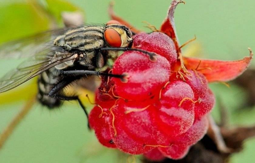 Как спасти малину от малиновой мухи