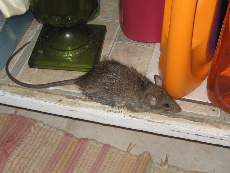 Сонник крыса ест мышь. к чему снится крыса ест мышь видеть во сне - сонник дома солнца