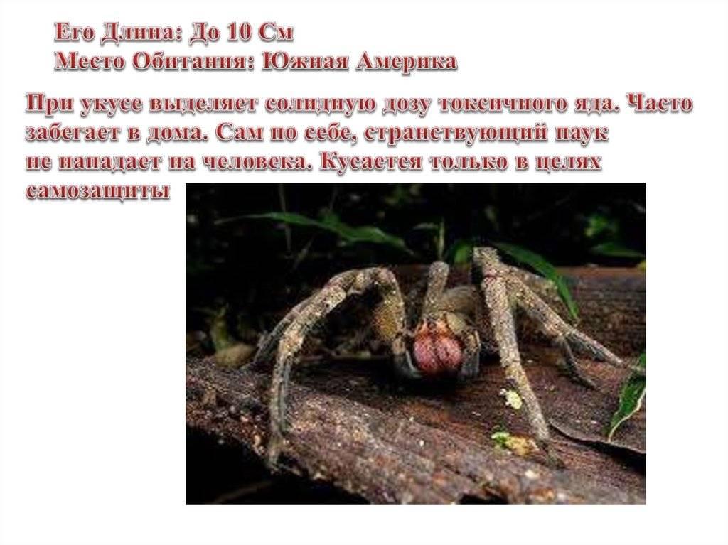 Бразильский странствующий паук путешественник, последствия укуса приводят к смерти