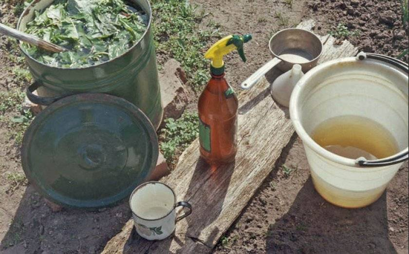 Стрелки чеснока от вредителей и болезней (рецепты настоев)