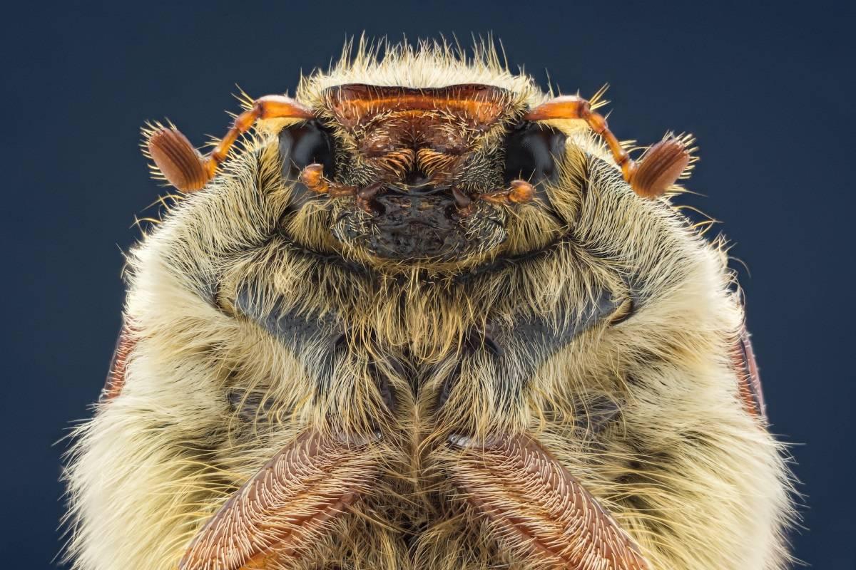 Майский жук - история, описание вида, среда обитания, образ жизни,и интересные факты о насекомом а также фото и видео