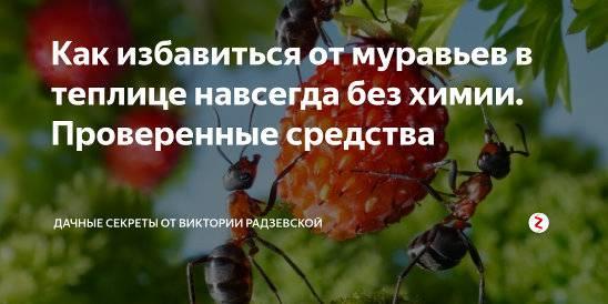 Лучшие советы по избавлению от муравьев в теплице