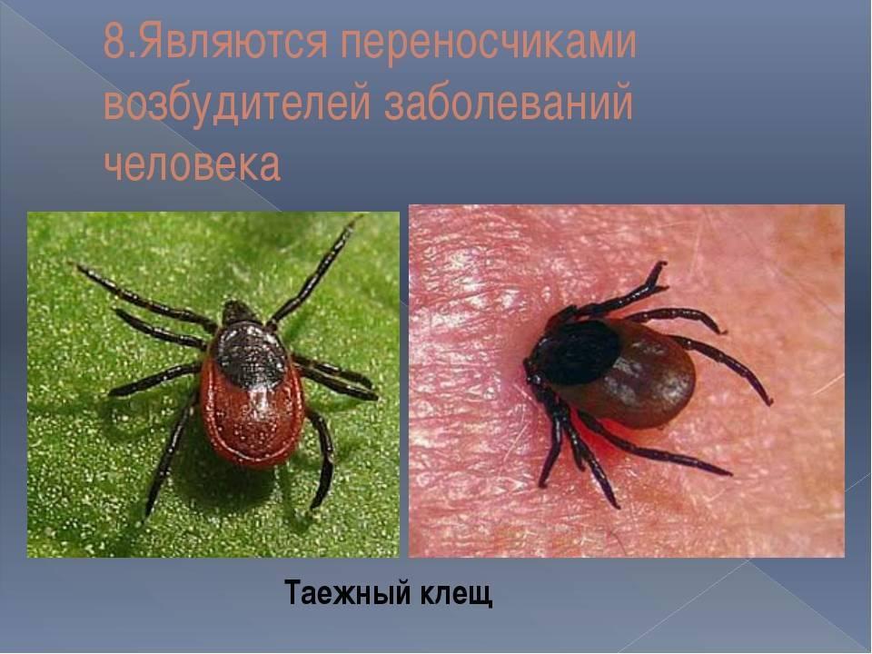 Медицинская арахноэнтомология. собачий клещ – ixodes ricinus. таежный клещ – ixodes persulcatus