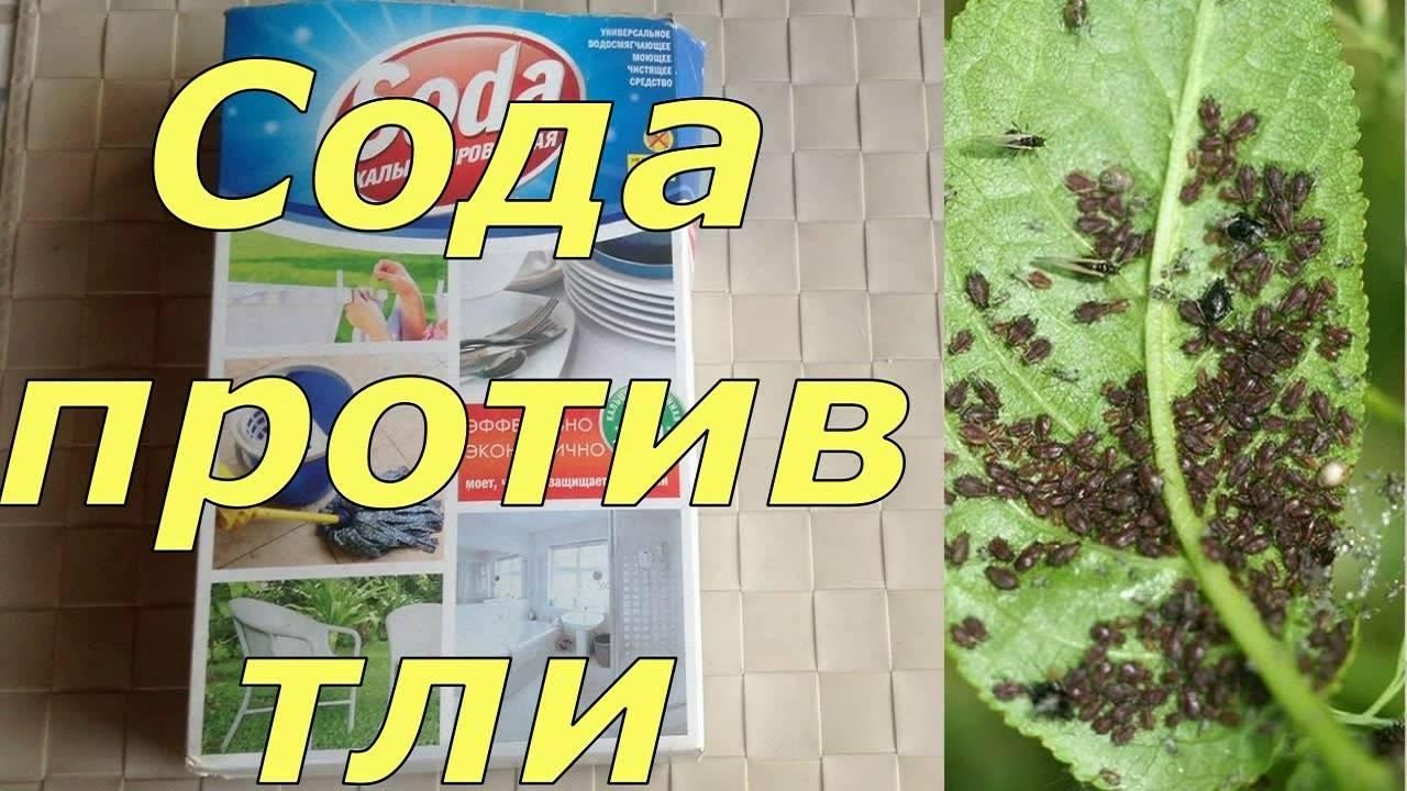Пищевая сода в огороде применение для растений от вредителей, фото и видео