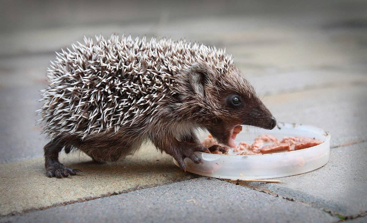 Милые лесные ёжики: что едят в дикой природе и чем кормить в домашних условиях