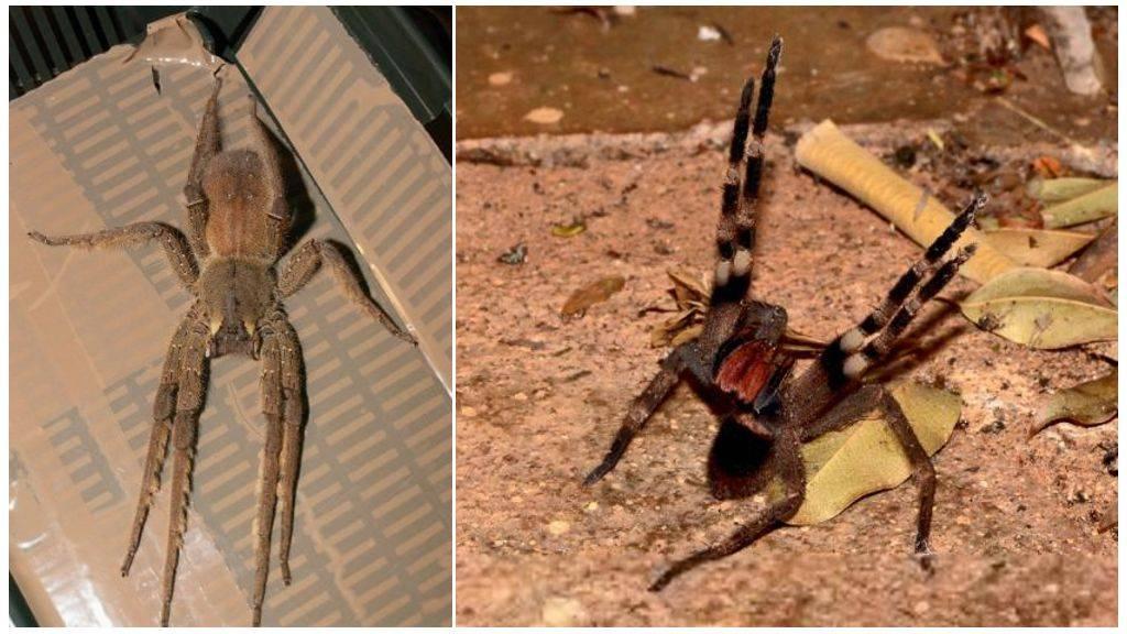 Бразильский странствующий паук википедия
