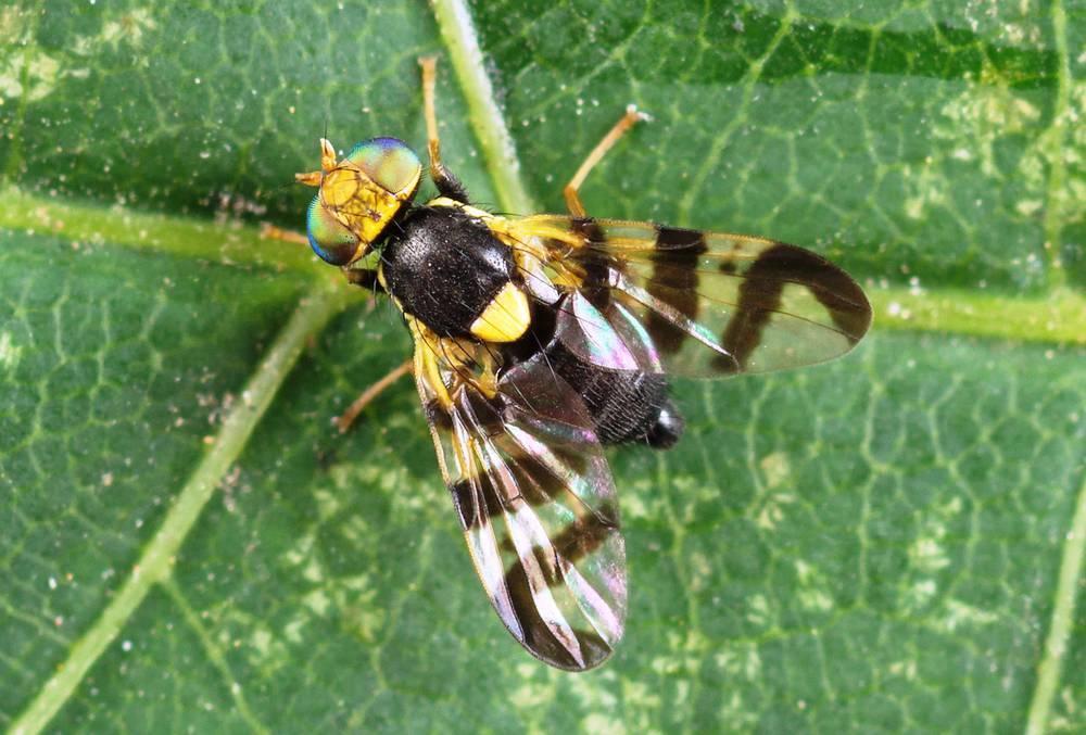 Вишневая муха: самые действенные методы борьбы