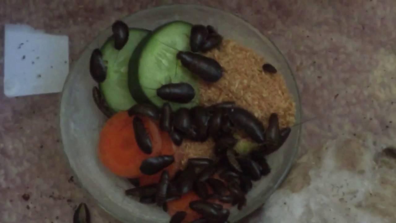 Содержание и разведение кормовых тараканов в домашних условиях