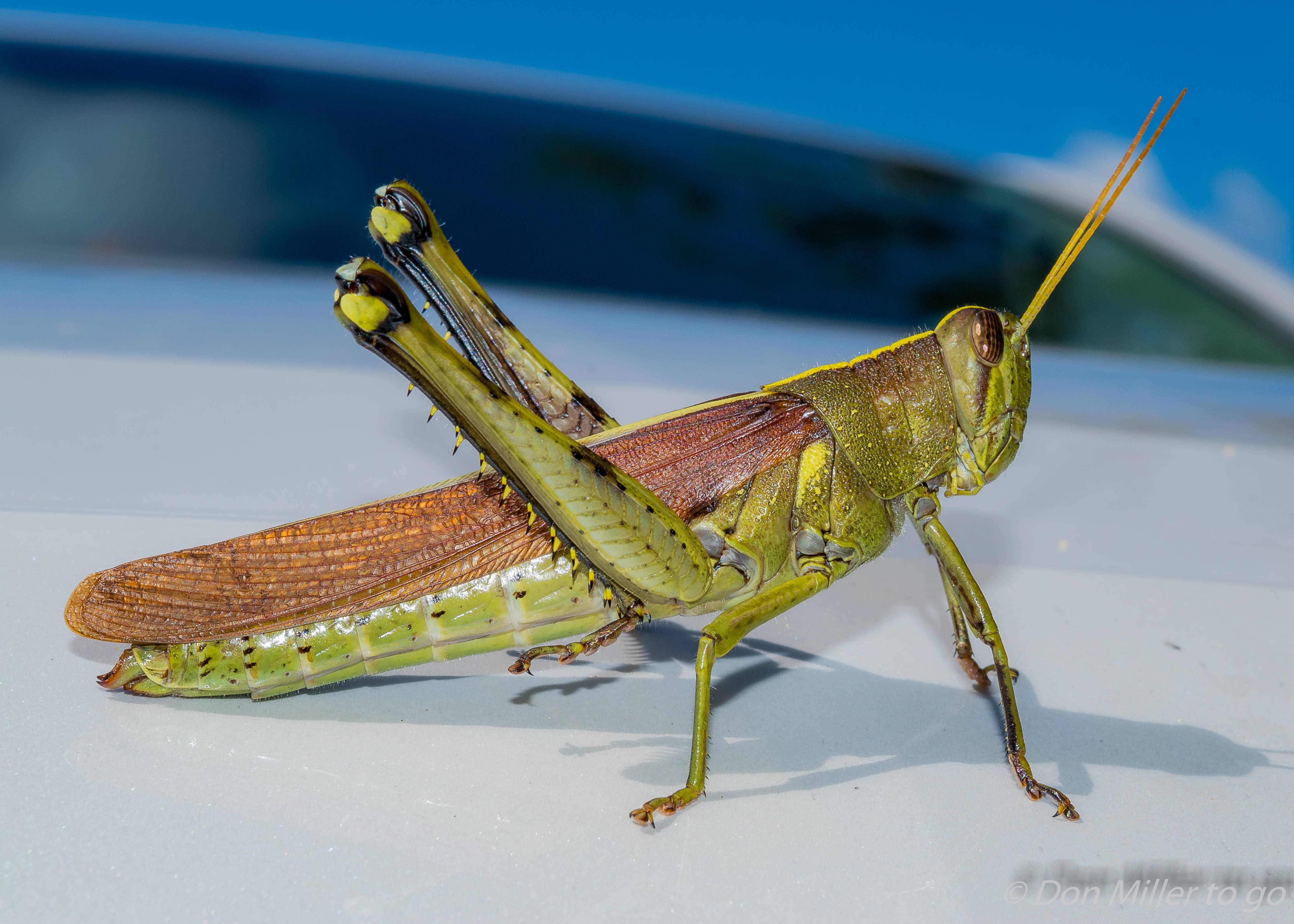 Как стрекочет сверчок. мелодичный звук сверчка, или музыкальные способности насекомого как происходит стрекотание