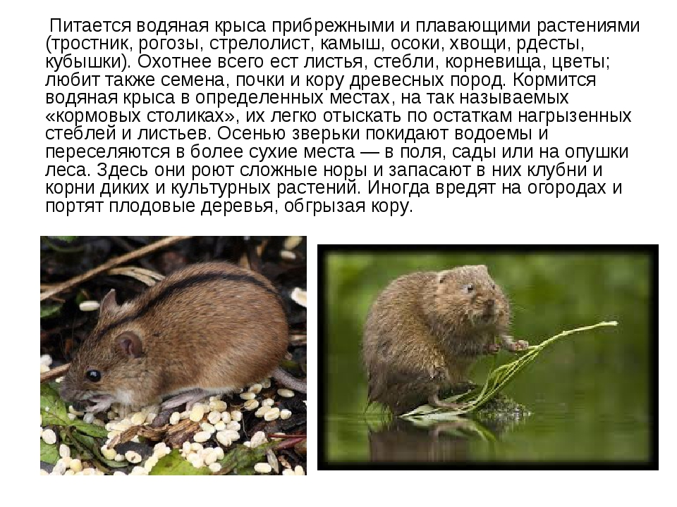 Крысы: как бороться с опасными вредителями