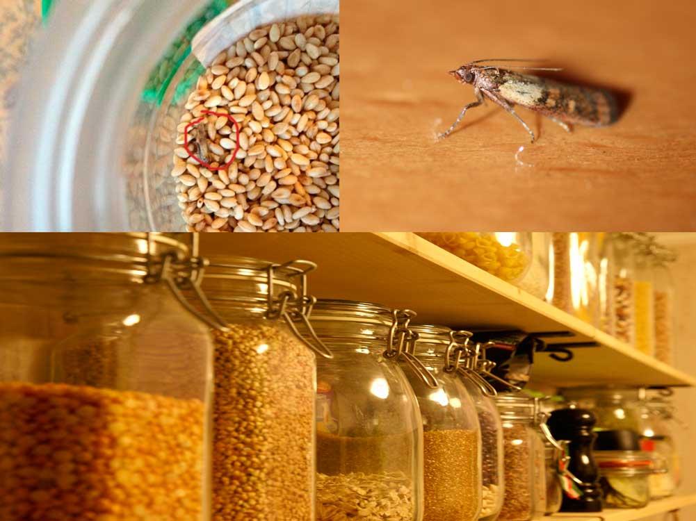 Пищевая моль - как выглядит и способы вывести навсегда