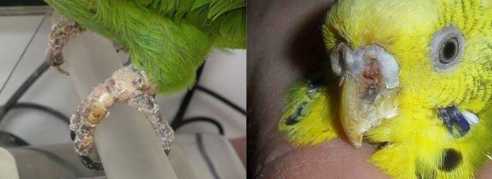 Клещ у волнистого попугая: симптомы и лечение чесоточного мазью