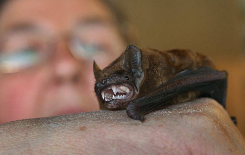 Укус летучей мыши - онлайн врач