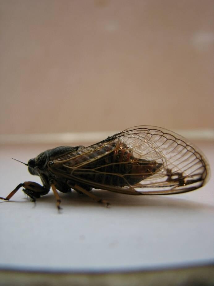 Синяя муха – фото и описание