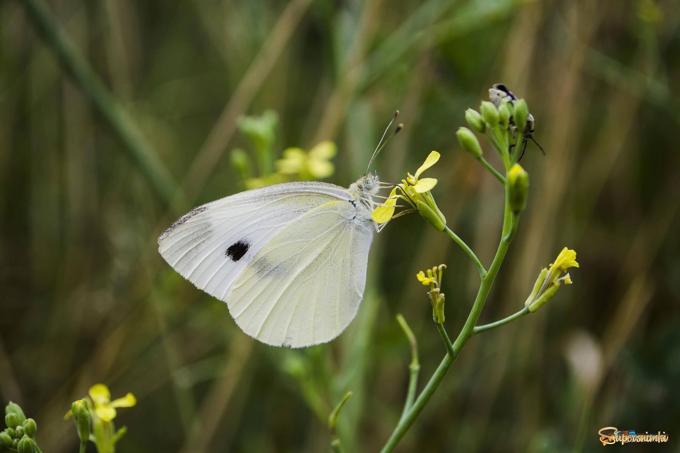 Тизания агриппина (совка агриппа) – самая крупная по размаху крыльев бабочка в мире