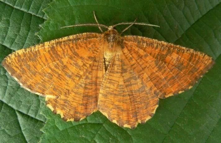 Бдительность не будет лишней, бабочки пяденицы: их описание и фото
