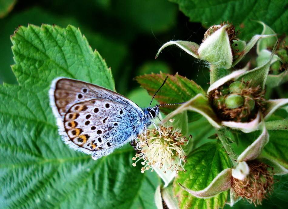 Голубянка икар | мир животных и растений