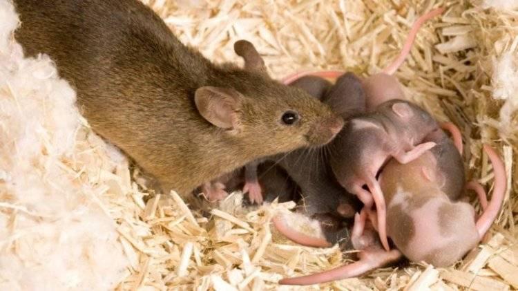 Детям про мышей и крыс. загадки и факты   цветы жизни