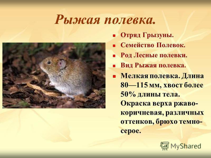 Домашние грызуны: фото, названия, описание популярных видов