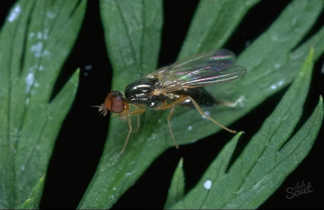 Морковная мухаи как с ней бороться: фото, видео, описание