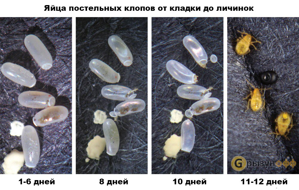Яйца клопов (личинки): как выглядят, как уничтожить, через сколько вылупояются
