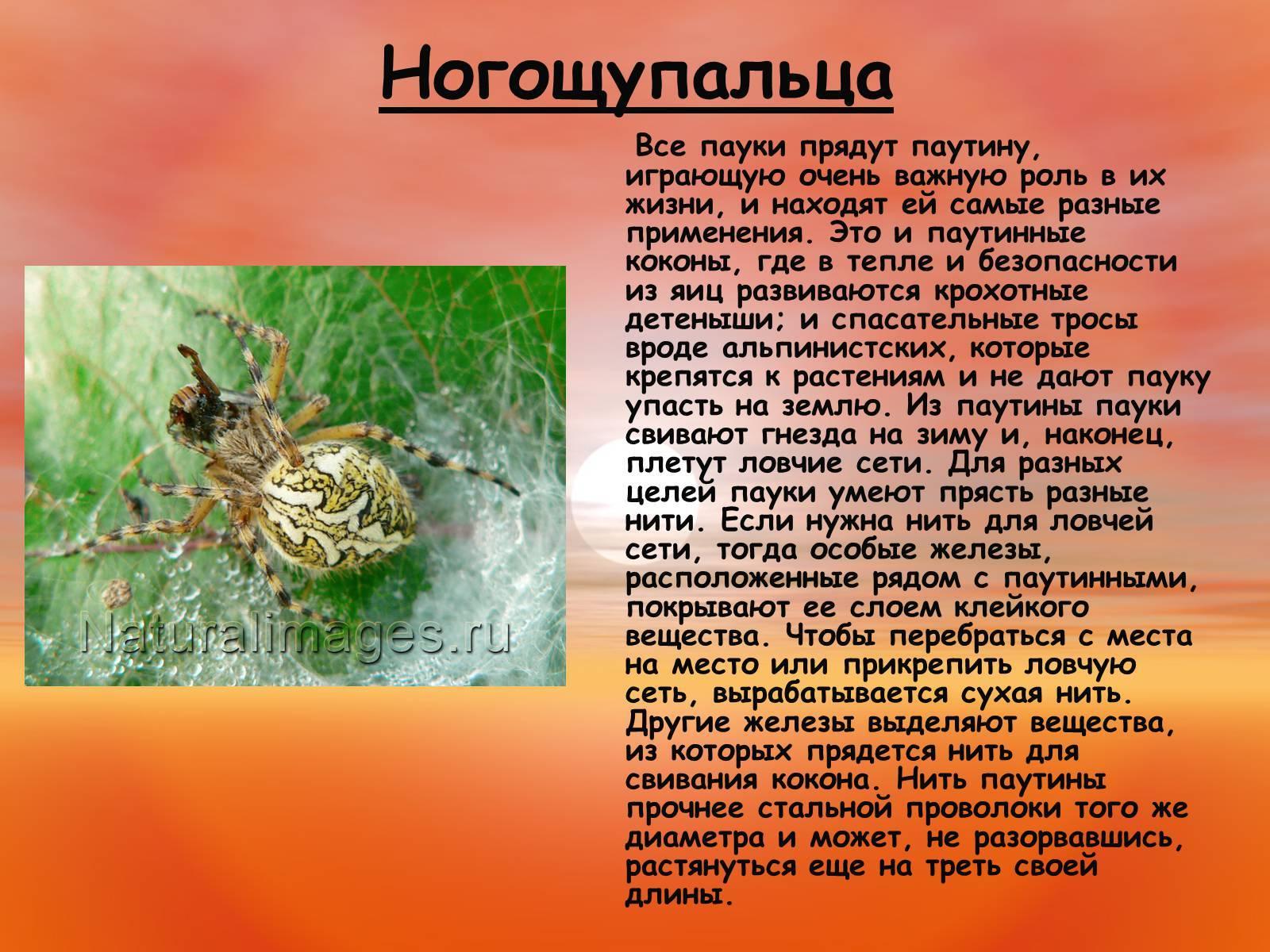 Самые опасные пауки для человека