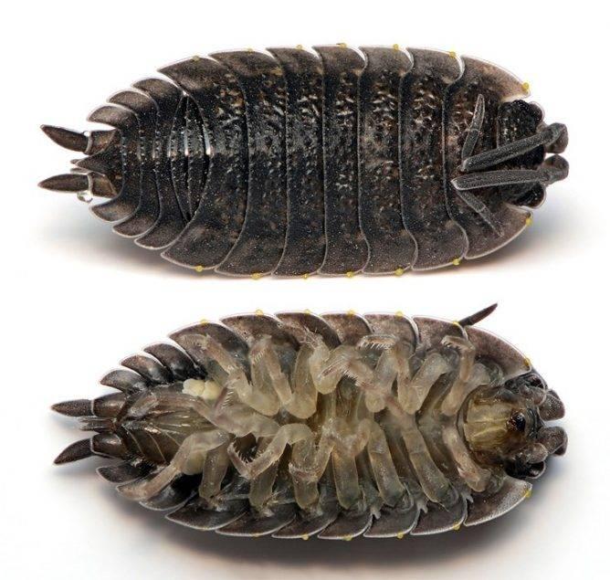 Что за насекомые мокрицы и как от них избавиться?