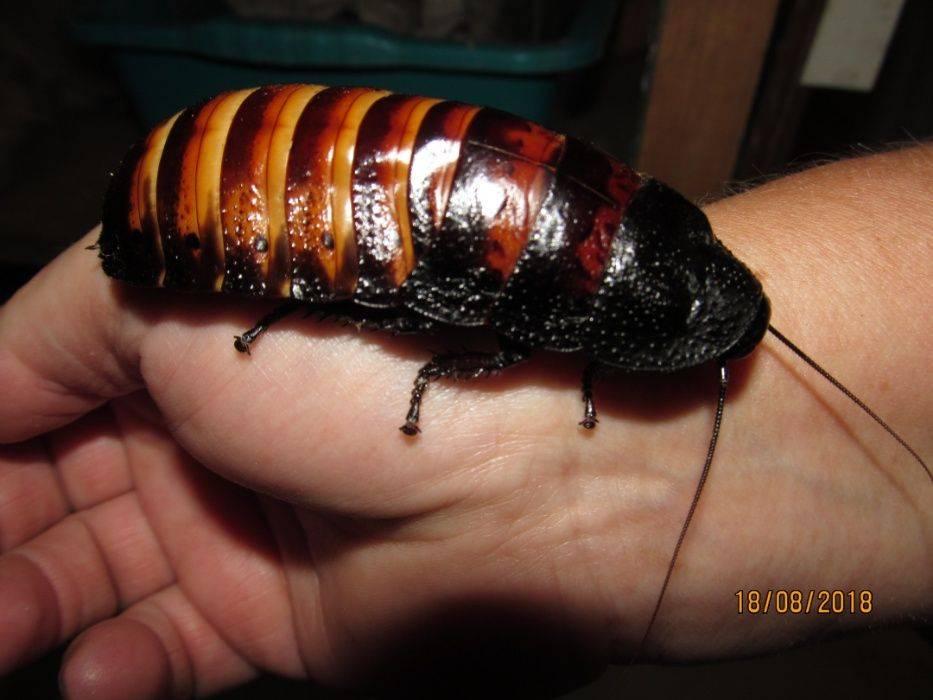 Мадагаскарский таракан - условия содержания