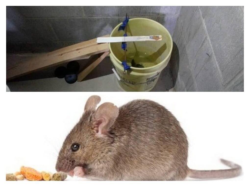Приманка для мышей, что лучше положить в мышеловку?