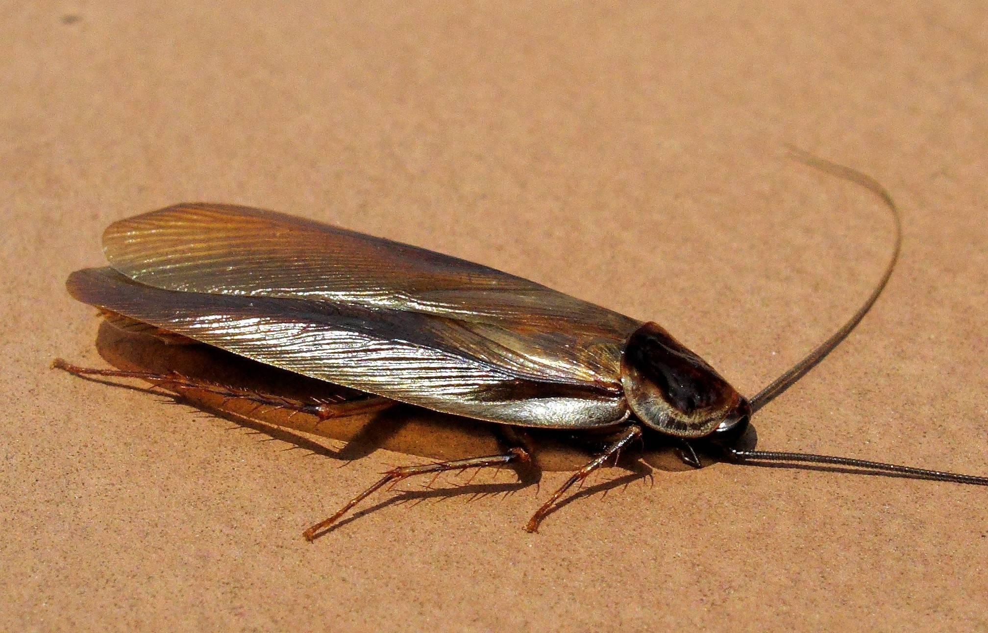 Виды таракановых