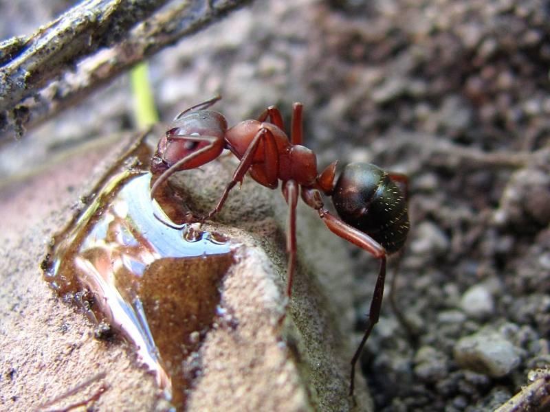Необычные муравьи мира. топ-10