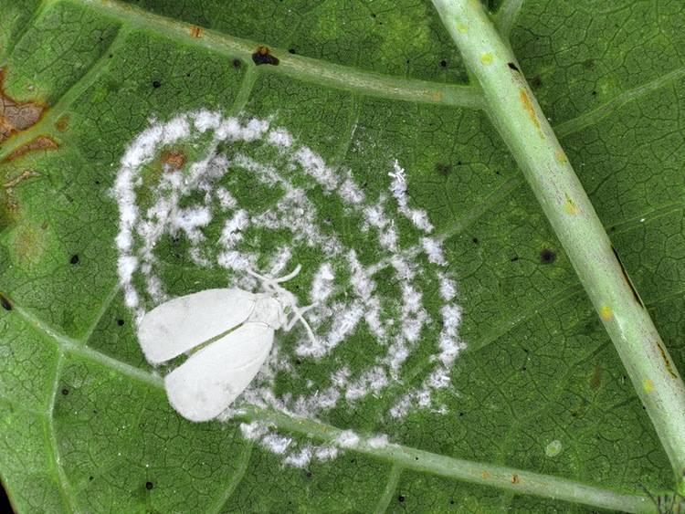 Белокрылка на рассаде – как быстро избавиться от нее в домашних условиях
