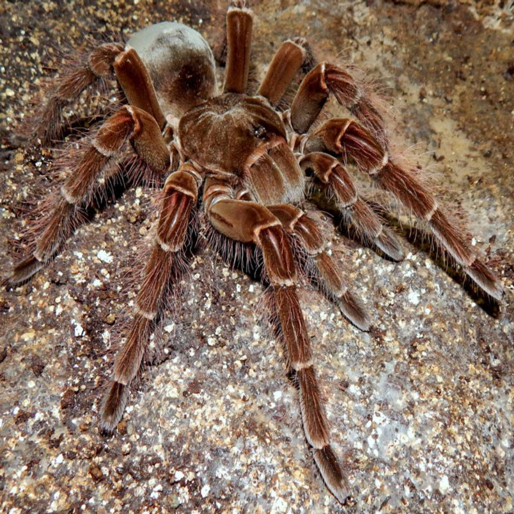 Самый большой паук в мире: как выглядит, размеры, фото, видео