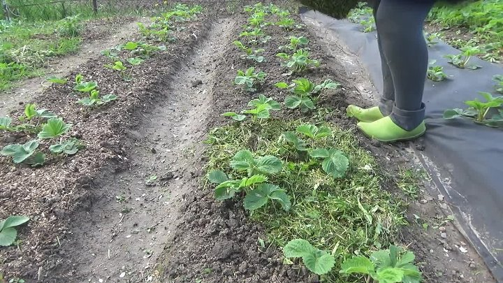 Нашатырный спирт для клубники - особенности применения средства на огороде (120 фото и видео)