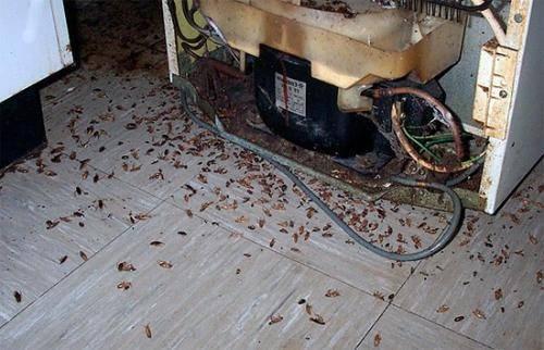 Гнездо тараканов: фото, описание, как найти