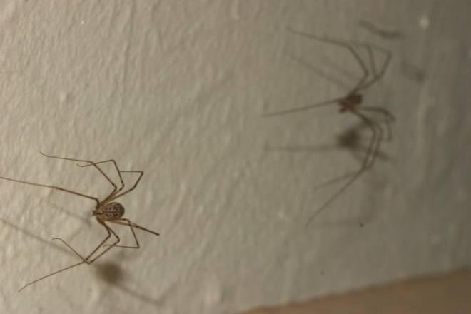 Домашние пауки: опасны ли для человека, виды, приметы